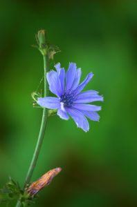 chicory fiore bach