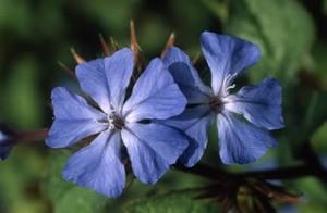 Cerato, fiore straniero