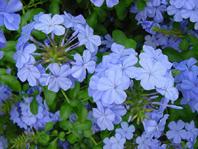 Ceratus - fiore semplice a 5 petali