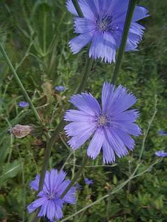 Chicory, stelo robusto, fiore delicato. Foto tratta dal web
