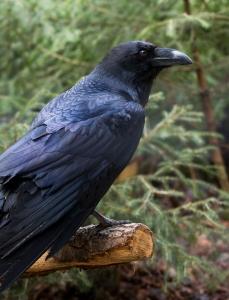Il corvo simbolo di arguzia