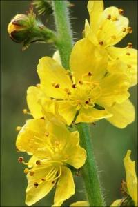 Agrimony - il fiore di Bach per chi tiene tutto dentro di sé