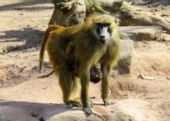 monkey-3289247_1920